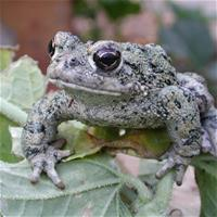 Western Toad sitting on leaves