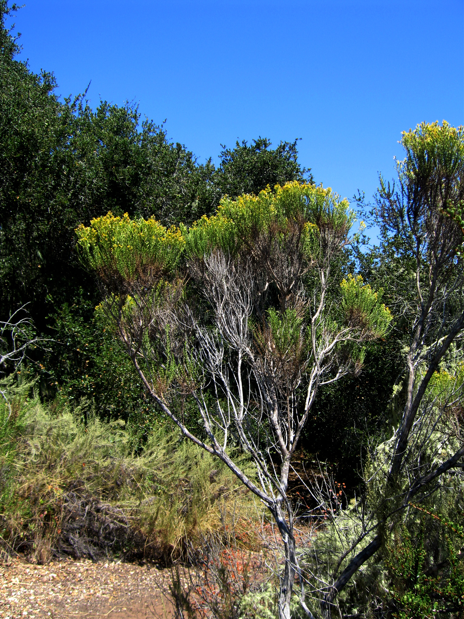 Coyote Brush 1