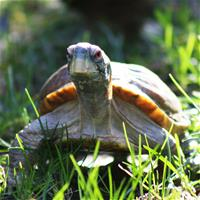 Box Turtle in the grass